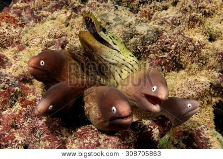 Group of White-eyed Moray Eels