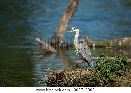 A Grey Heron (ardea Cinerea) Standing Near A Pond (vienna, Austria)