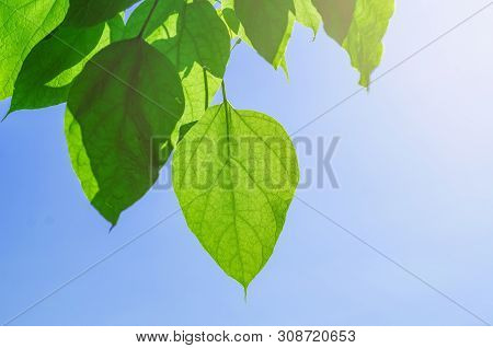 Green Leaves Of A Catalpa Tree On A Background Blue Sky