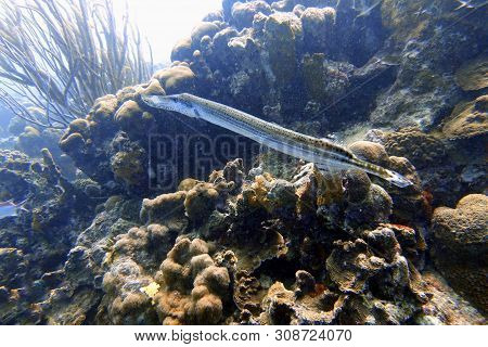 Aulostomus Maculatus, The Trumpetfish Which Is Also Known As The West Atlantic Trumpetfish, Is A Lon
