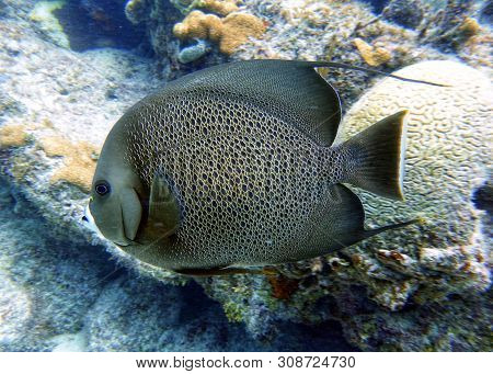 The Gray Angelfish, Grey Angelfish Or Black Angelfish, Is A Large Angelfish Of The Family Pomacanthi