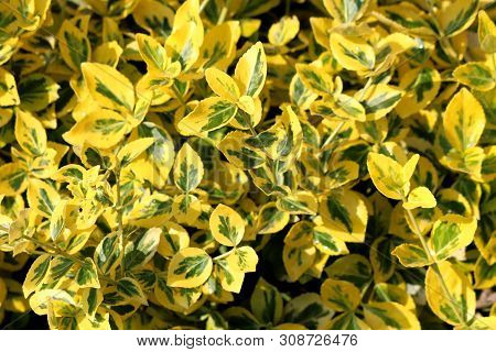 Background Texture Of Golden Euonymus Or Euonymus Japonicus Aureo Marginatus Evergreen Densely Plant