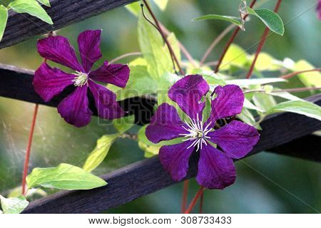 Two Clematis Or Leather Flowers Dark Purple Easy Care Perennial Vine Flowers With Leathery Petals An