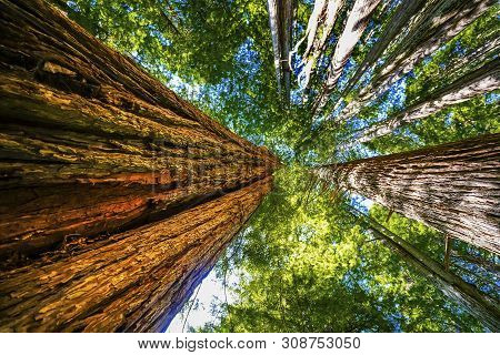 Green Towering Redwoods National Park Newton B Drury Drive Crescent City California. Tallest Trees I