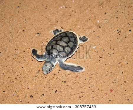 High Angle View Over Flatback Sea Turtle Hatchling Crawling To The Sea In Wet Sand On Bare Sand Isla