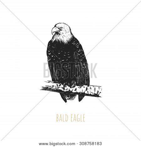 Bald Eagle Vector Illustration. Bald Eagle Bird Hand Drawing. Bald Eagle Sketch. Haliaeetus Leucocep