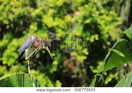 A Juvenile Tricolored Heron Located At The Alligator Farm St. Augustine Florida