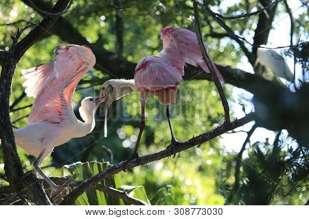 A Roseate Spoonbill Perched On Branch Feeding Chick At The Alligator Farm St. Augustine Florida