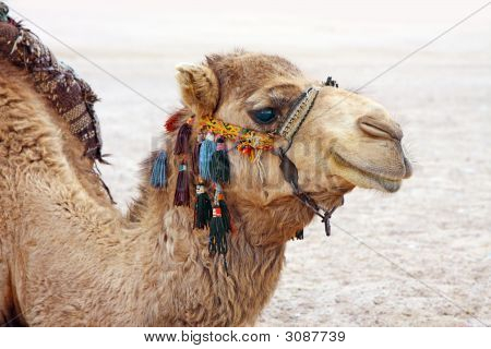 A photography of a camel in the egypt desert poster