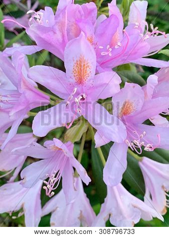 Pink rhododendron flowers in summer