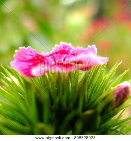 Sweet William Flower Of The Caryophyllaceae Family.   Latin Name : Dianthus Barbatus Photographed In