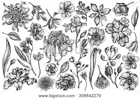 Vector Set Of Hand Drawn Black And White Japanese Chrysanthemum, Blackberry Lily, Eucalyptus Flower,