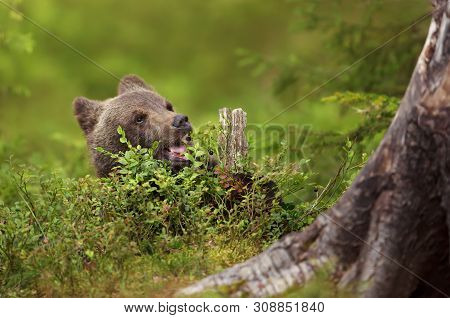 Eurasian Brown Bear Cub Eating A Blueberry In Boreal Forest On A Sunny Afternoon, Finland.