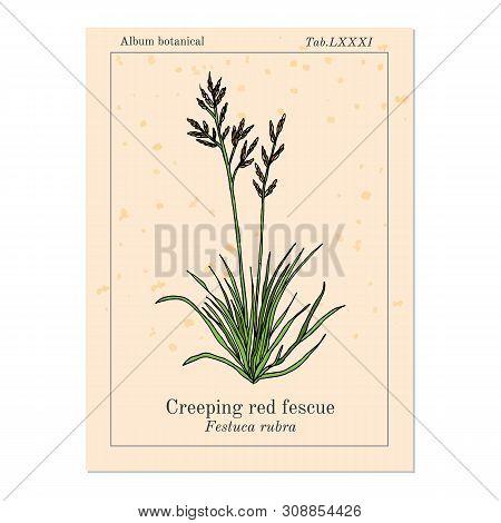 Creeping Red Fescue Festuca Rubra , Medicinal Plant. Hand Drawn Botanical Vector Illustration