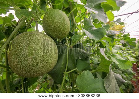 Melon Or Cantaloupe Melons Growing In Supported By String Melon Nets ,the Yellow Melon With Leaves A