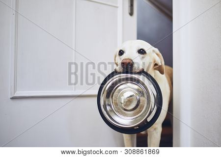 Hungry Dog With Sad Eyes Is Waiting For Feeding. Adorable Yellow Labrador Retriever Is Holding Dog B