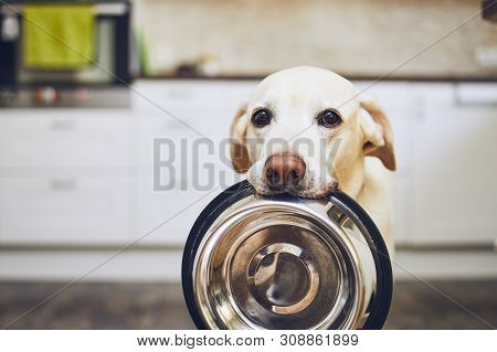 Hungry Dog With Sad Eyes Is Waiting For Feeding In Home Kitchen. Adorable Yellow Labrador Retriever