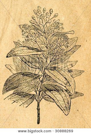 Kanel branch - gammal illustration av okänd konstnär från Botanika Szkolna na Klasy Nizsze, författare J