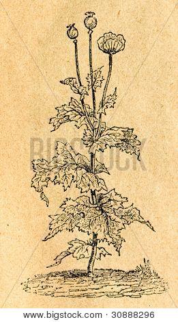 Opiumvallmo, Papaver somniferum, gammal illustration av okänd konstnär från Botanika Szkolna na Klasy N