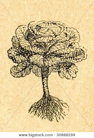 Savojkål - gammal illustration av okänd konstnär från Botanika Szkolna na Klasy Nizsze, författare Joz