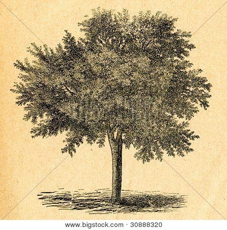 Cherry tree - gammal illustration av okänd konstnär från Botanika Szkolna na Klasy Nizsze, författare Jozef