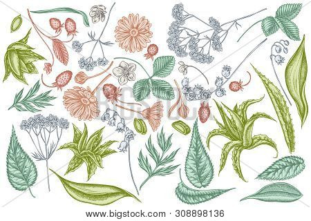 Vector Set Of Hand Drawn Pastel Aloe, Calendula, Lily Of The Valley, Nettle, Strawberry, Valerian St
