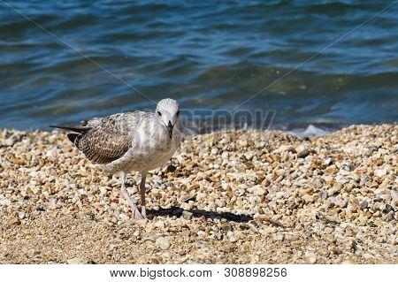Young Caspian Gull Larus Cachinnans On The Beach