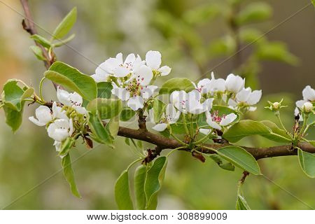 White Pear Blossoms On A Branch Closeup On Blurry Background