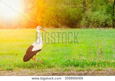 White Stork Ciconia Ciconia Walking In The Woods With Glow