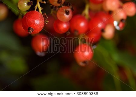 Bunches Of Red Currant Berries Right On The Bush And With Dew