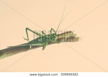 Green Grasshopper Sitting On Branch Isolated On Cream Background Close Up