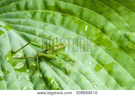 Green Grasshopper Sitting On A Sheet Of Hosts Isolated Close-up