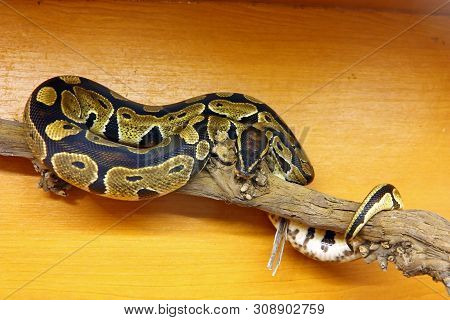 The Royal Python (python Regius), Is A Python Species Found In Sub-saharan Africa
