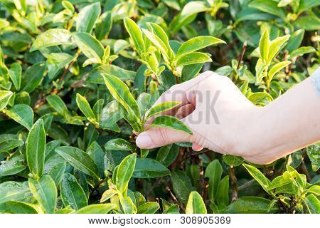 Farmer Picking Tea Leave In The Terraced Tea Fields. Young Woman Collecting Some Green Tea Leaf.tea