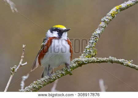 A Male Chestnut-sided Warbler (setophaga Pensylvanica) Sits Up Alert In The Crook Of A Branch On A S