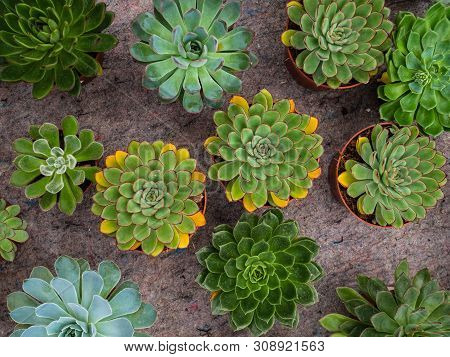 Different Types Of Plants Succulents. Many Pots With Succulents Echeveriya. Garden Shop