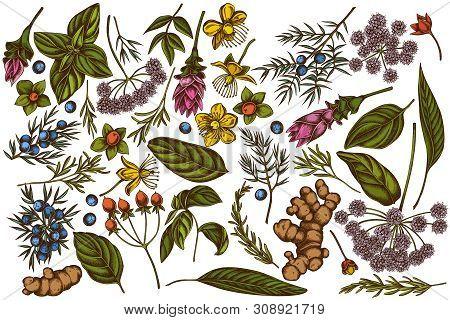 Vector Set Of Hand Drawn Colored Angelica, Basil, Juniper, Hypericum, Rosemary, Turmeric Stock Illus