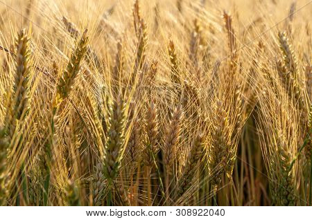 Grains Of Grain On The Background Of The Setting Sun.