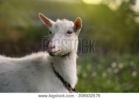 Close Up Of An Inquisitive Goat. Close-up Of A White Goat. Close Up Goat In Farm On Green Grass. Goa