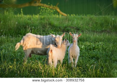 Group Of Goats With Baby Goats. Local Family Goats In The Yard Village House. Ukrainian Country Styl