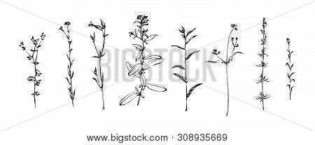 Hand Drawn Set Of Wild Herbs. Outline Plants Painting By Ink. Sketch Or Doodle Style Botanical Vecto