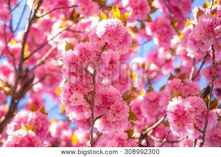 Cherry Blossom. Beautiful Nature Scene With Blooming Tree And Sunny Day. Sacura Cherry-tree