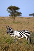A zebra standing side on in grass in front of an acacia tree poster