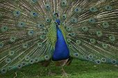 a beautiful blue peacock showing off his feathers with shallow depth of field poster