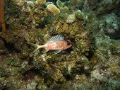 Squirrel Fish at home on a Cayman Island Reef poster