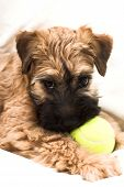 Irish soft coated wheaten terrier small brown puppy poster