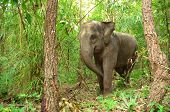 this is asia elephant in tropical forest, thailand poster