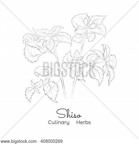 Hand Drawn Sketch Of Shiso Or Beefsteak Plant. Silhouette Of The Perilla Mint, Isolated On White Bac