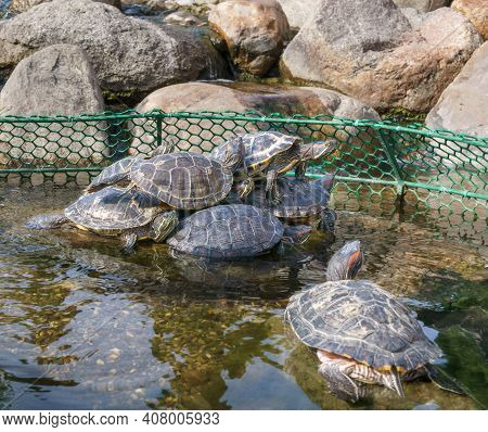 Turtles Are Basking On Stones In Enclosure On Pond. Sunny Day. Small Depth Of Field