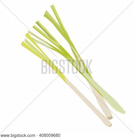 Lemon Grass Vector Stock Illustration Close-up. Citronella For Tea And Medicine. Asian Cooking. Gree